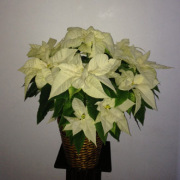 Chic White Poinsettia Plant