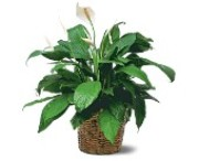 Medium Spathiphyllum