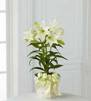 The FTD� Easter Lily Plant