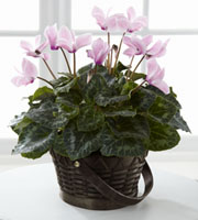 The FTD� Pink Cyclamen