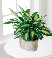Apple blossom Florist, winter Park, florida 32792 The FTD� Spathiphyllum and Dieffenbachia