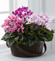 The FTD� Mixed Cyclamen Planter