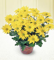 The FTD� Daisy Chrysanthemum (Large)