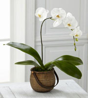 The FTD� White Phalaenopsis Orchid