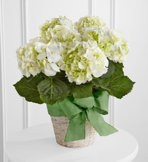 The FTD� White Hydrangea Planter