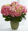 The FTD� Pink Hydrangea Planter