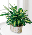 The FTD� Spathiphyllum and Dieffenbachia