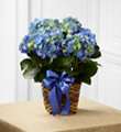The FTD� Blue Hydrangea Planter